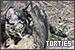 Cats: Tortoiseshell: