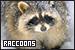 Raccoons: