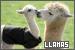 Llamas: