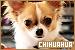 Dogs: Chihuahuas: