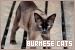 Cats: Burmese: