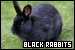 Rabbits: Black: